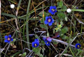 Photo: Anagallis arvensis (Primulaceae), Scarlet Pimpernel