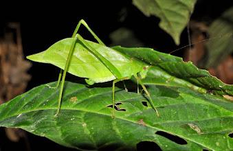 Photo: bush-cricket