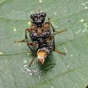 Transvestite Rove beetle