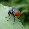 Oriental latrine fly
