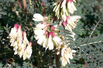 Photo: Garbanzuelos. Astragalus lusitanicus