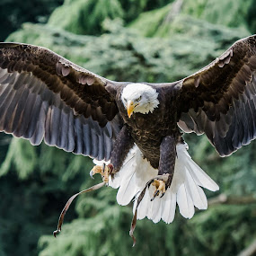Landing by Andy Smith - Animals Birds ( bird, flight, talons, bird of prey, bald eagle,  )