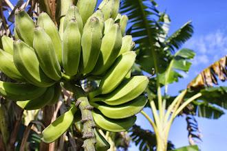 Photo: Musa Cavendish Bananas - Stock photo