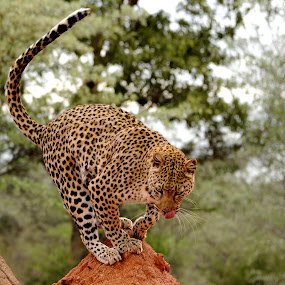 Leopard at Erindi in Namibia. by Lorraine Bettex - Animals Lions, Tigers & Big Cats (  )