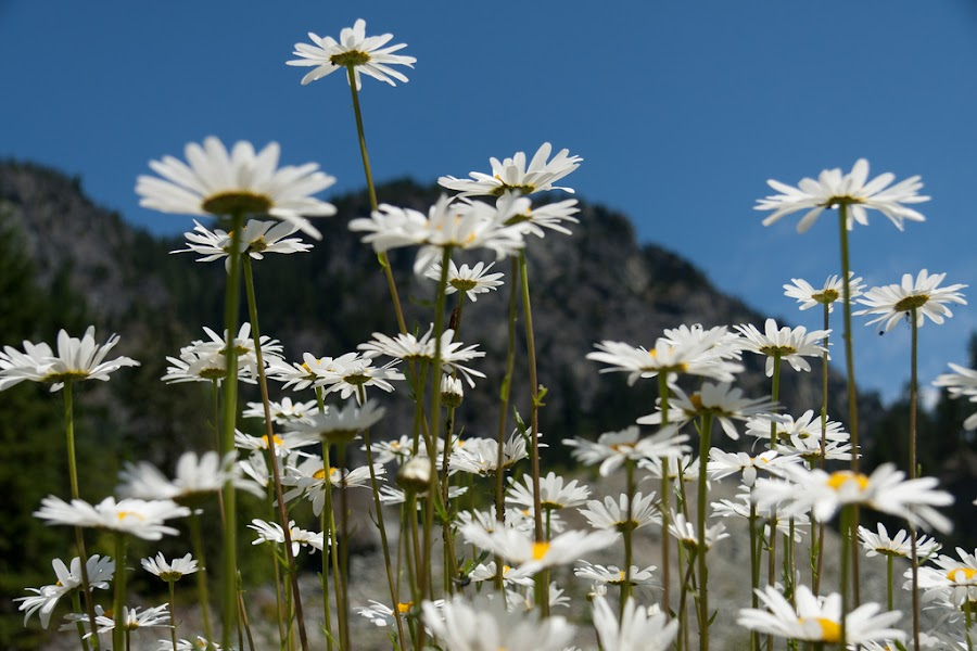 Field of Daisies by Tanya Witzel - Landscapes Prairies, Meadows & Fields ( canon, b.c., mountains, canada, petals, daisies, meadows, flowers, mother nature, fields )