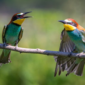 European bee-eater by Andrej Kozelj - Animals Birds ( european bee-eater, color, bird, animal, animals, birds, wild, colors, colorful, wildlife )