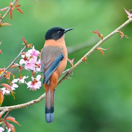 Rufous Sibia by Chandra Mouli Roy Chowdhury - Animals Birds