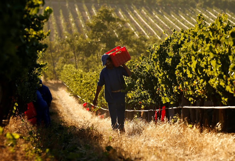 Workers harvest grapes at the La Motte wine farm in Franschhoek.