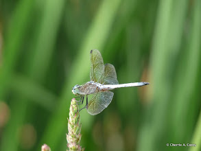 Photo: Dragonfly sp.
