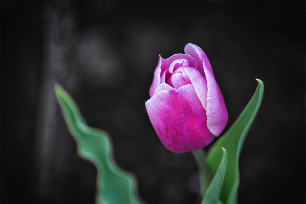 Pink Card Tulip.jpg