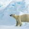 Polar Bear1-.jpg