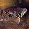 Bluegill (Fish)