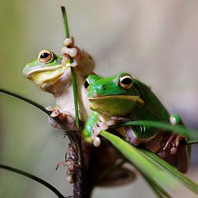 Giant Treefrog by Kiki Achadiat - Animals Amphibians