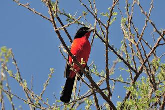 """Photo: Crimson-breasted Shrike (Afrikaans: Rooiborslaksman) perching in a Haak en Steek tree (""""Hook"""" and """"Stab"""" tree - look at the thorns)"""
