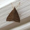 Celery Leaftier Moth