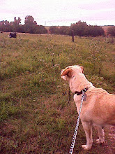 Photo: Sandydog, not sure what to make of the cattle at the farm?
