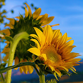 Sunflowers at Sunset by Susan McNeill - Nature Up Close Flowers - 2011-2013 ( sunflowers,  )