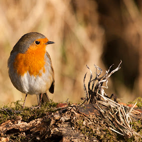 Posing Robin by Kenny Routledge - Animals Birds ( robin, wwt caerlaverock, nature, dumfries and galloway, wildlife, kenny routledge, birds )
