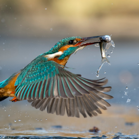 kingfisher in action by Riccardo Trevisani - Animals Birds ( riccardo trevisani, kingfisher, wildlife, nikon, italy )