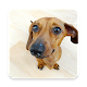 Download Dachshund Wallpapers For PC Windows and Mac