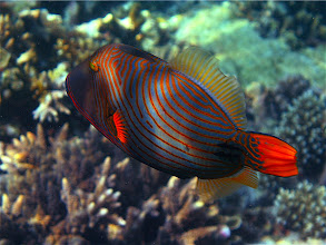 Photo: striped triggerfish