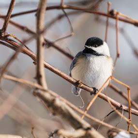 My Little Chickadee by Greg Croasdill - Animals Birds ( winter, small birds, kennsington metro park, chickadee, birds )