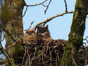 Photo: Great Horned Owlet,almost one month after hatching, with it's mother a couple of days before it left the nest.
