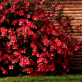 Azalea Bush by Noel Hankamer - Uncategorized All Uncategorized ( red, rhododendron, azalea, azalea rhododendron red flowers bloom ericaceae spring garden flower, bloom, flowers, garden, spring,  )