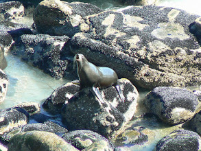 Photo: Cape Foulwind, Seal