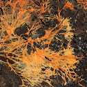 Orange Mycelium