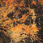 Orange Mycelium