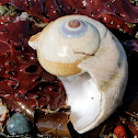 Lewis's moon snail (shell)