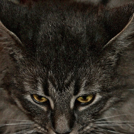 by Jim Antonicello - Animals - Cats Portraits (  )