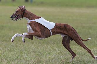 Photo: Azawakh, Coursing, Spitzerberg