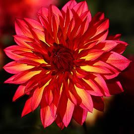 Dalhia n00035 by Gérard CHATENET - Flowers Single Flower
