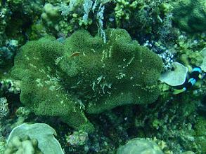 Photo: Amphiprion sandaracinos (Orange Skunk Clownfish), Stichodactyla mertensii (Mertens Carpet Anemone), Siquijor Island, Philippines