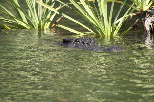 aussie crocodile di raffaele_campana