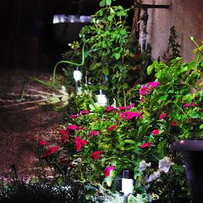 Night Flowers by Richard Calderon - Flowers Flower Gardens ( lights, light painting, nature, night, solar, flowers )