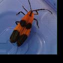 Banded Net-wing beetle