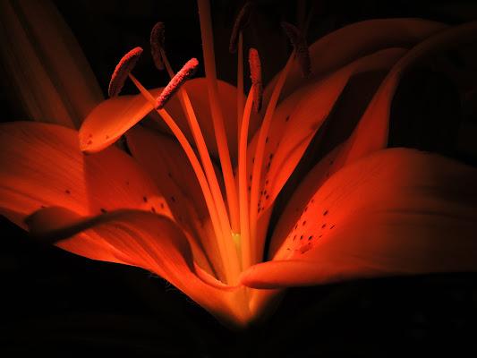 Lilium di maxmax