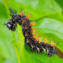 Question mark caterpillar, (3rd instar)