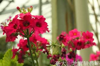 Photo: 拍攝地點: 梅峰-溫帶花卉區 拍攝植物: 櫻草(報春花) 拍攝日期: 2013_12_20_FY
