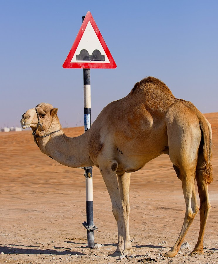 Humps Ahead by Edwin  Mendoza - Landscapes Travel ( camel, road sign, abu dhabi, animal, pwcroadsigns )