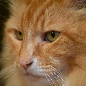 by Tesla Levine - Animals - Cats Portraits ( #mainecoon #cats )