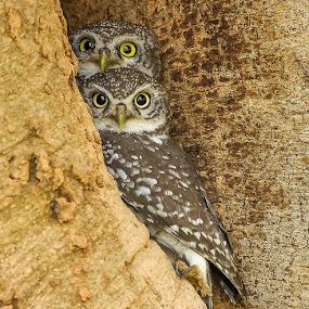 by S Balaji - Animals Birds ( wild, spotted owlets, animals, nature, birds,  )