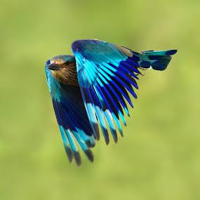 flight by Jineesh Mallishery - Animals Birds