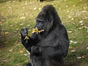 Photo: Fatou the Gorilla eating leaves