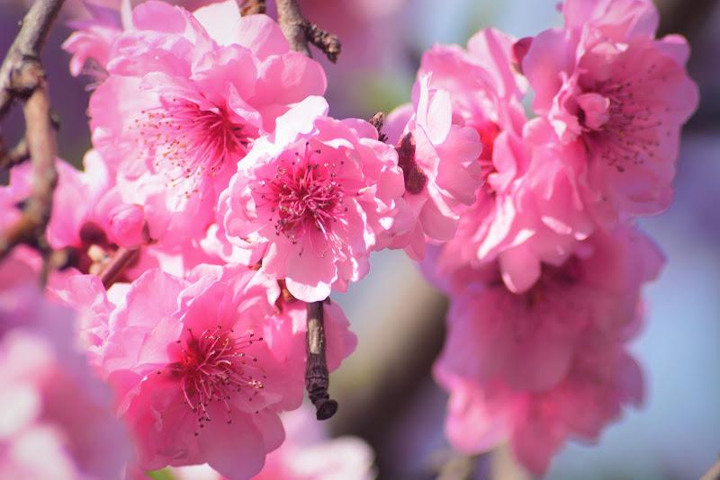 Fiori rosa fiori di pesco di MORENO ANTOGNOLI