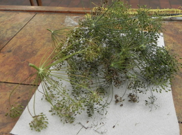 Dill Weed (anethum Graveolens) Recipe