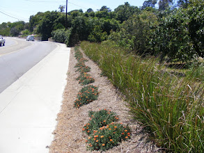 Photo: etiver hedge at toe of slope in Ventura, Ca. Functions as boundary hedge and keeps runoff and sediment out of roadway.etiver hedge at toe of slope in Ventura, Ca. Functions as boundary hedge and keeps runoff and sediment out of roadway.